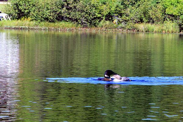 Loons on Little Muskie Lake.